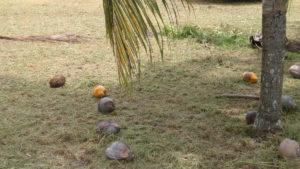 coconutpejos